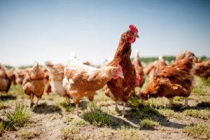Frische Eier von Hühnern aus eingener Haltung erwarten Sie in dem reichhaltigen Frühstücksbuffet